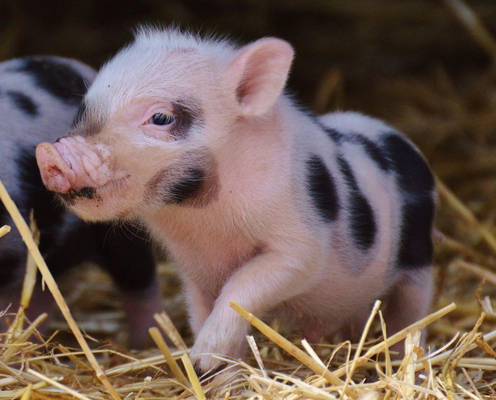 mini-pigs-como-mascota