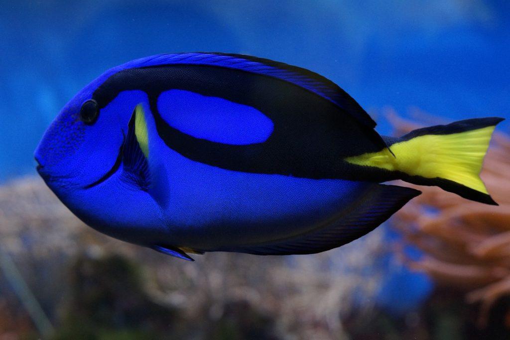 pez cirujano peces de agua caliente