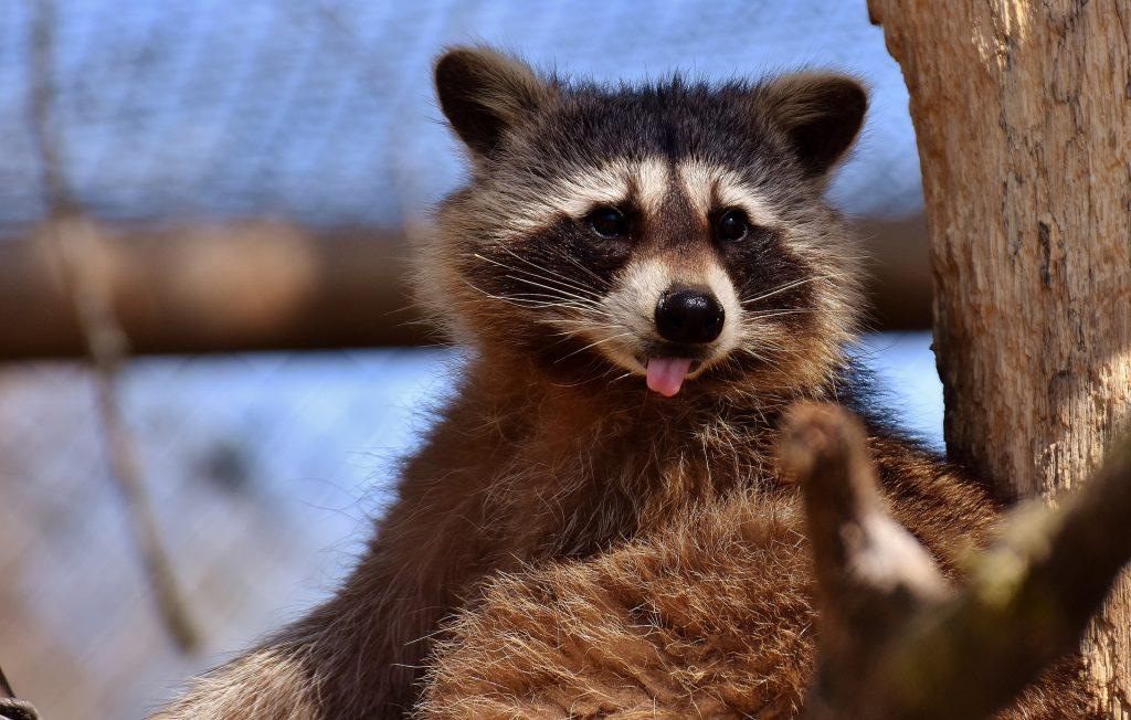 curiosidades sobre tener un mapache de mascota