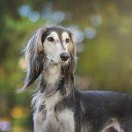 traqueitis en perros
