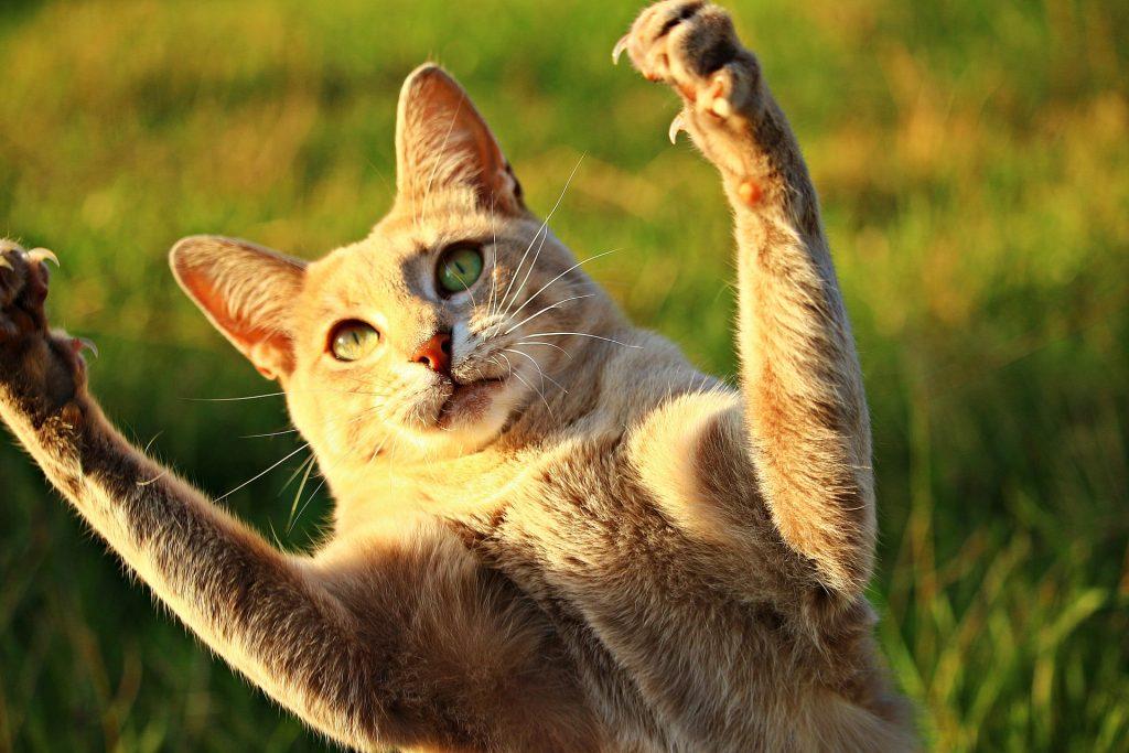 cómo cortarle las uñas a un gato paso a paso