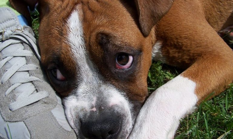 como curar las heridas por picadura de garrapata en perros
