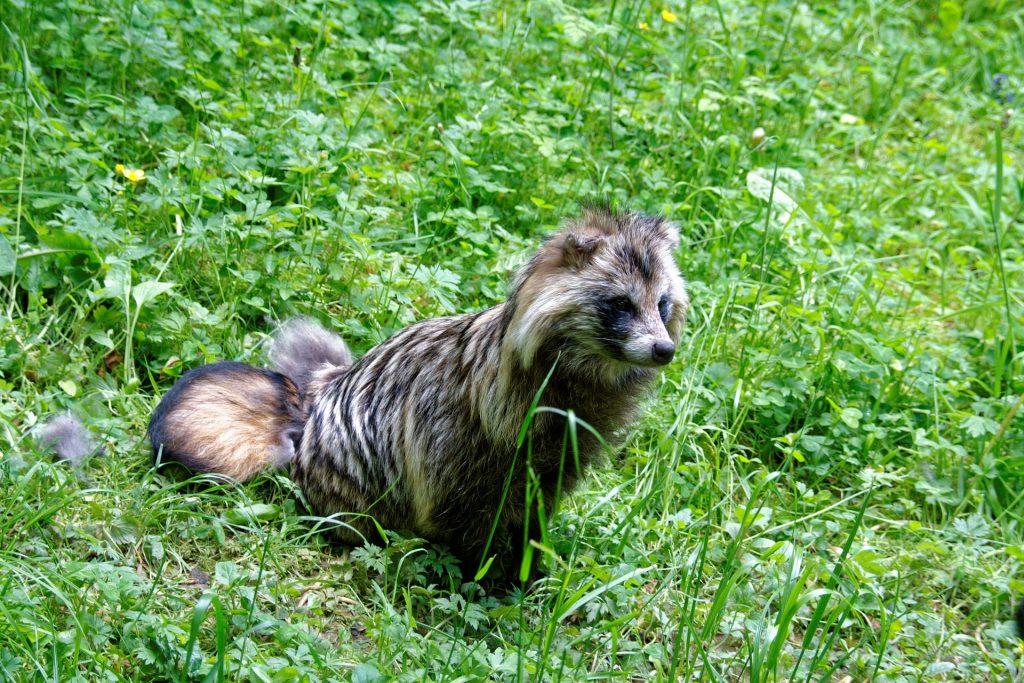 perro mapache o tanuki