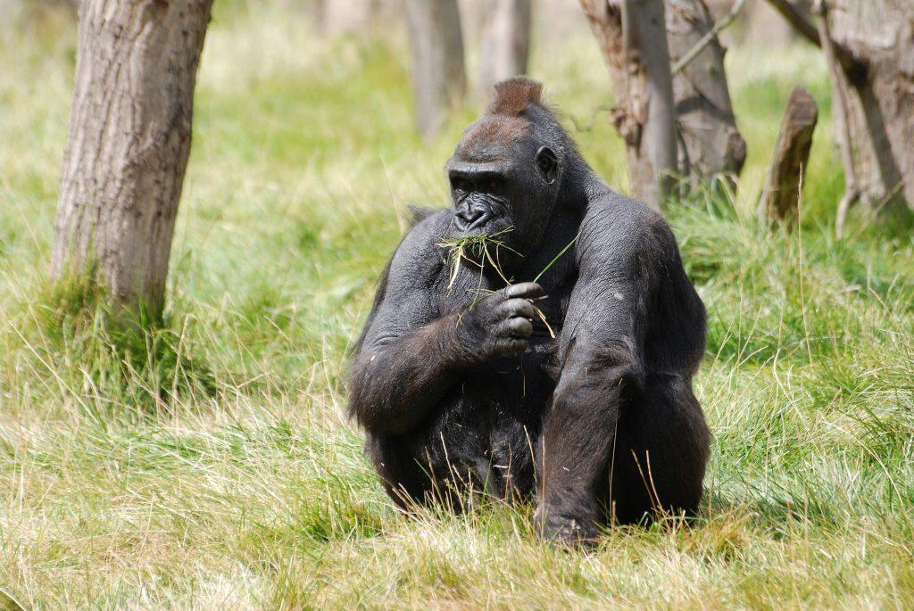 gorila-de-la-montana-animales-en-vía-de-extinción