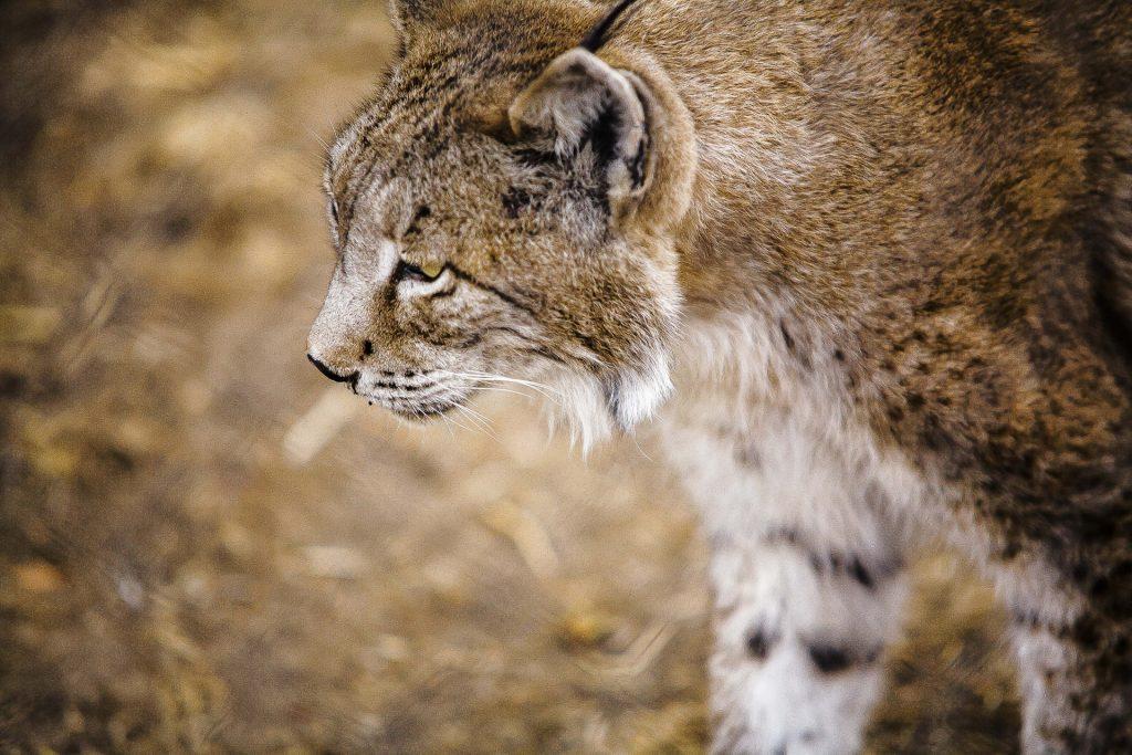 animales en vía de extinción el lince ibérico