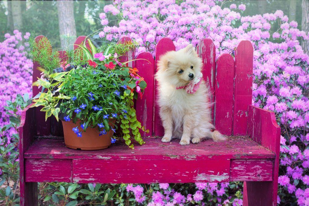 saber cuánto dura el celo en las perras