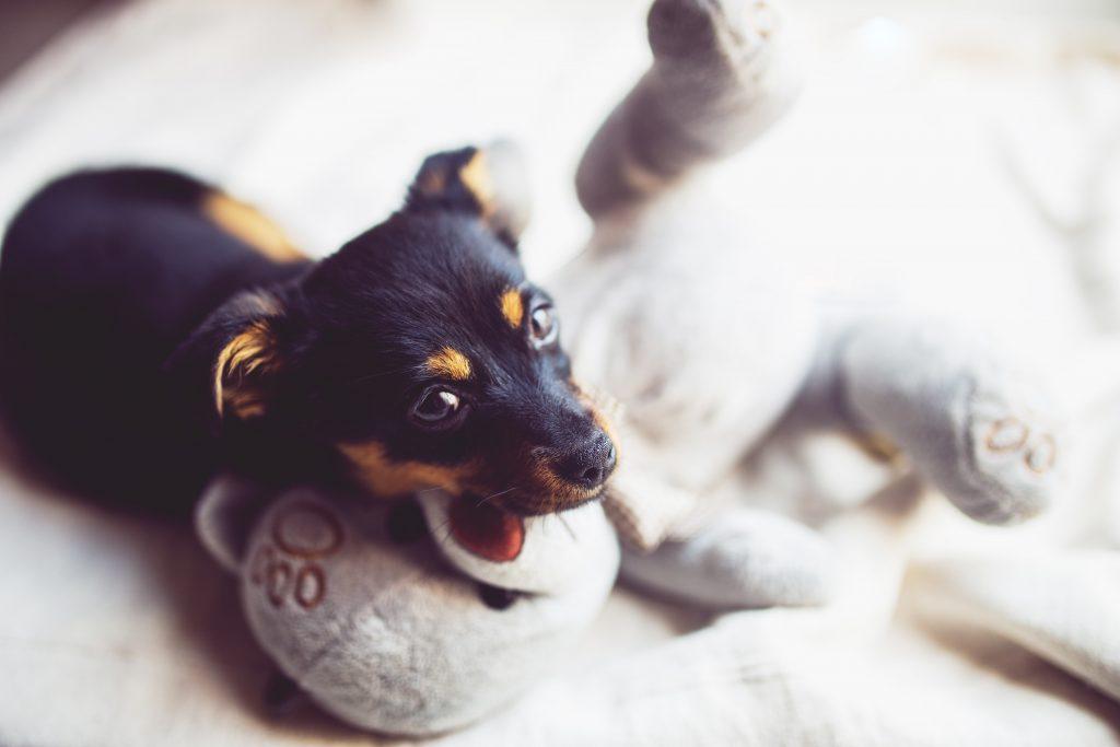 vacunas para cachorros importantes