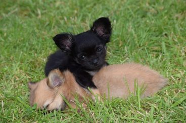 vacunas-para-cachorros-mas-importantes