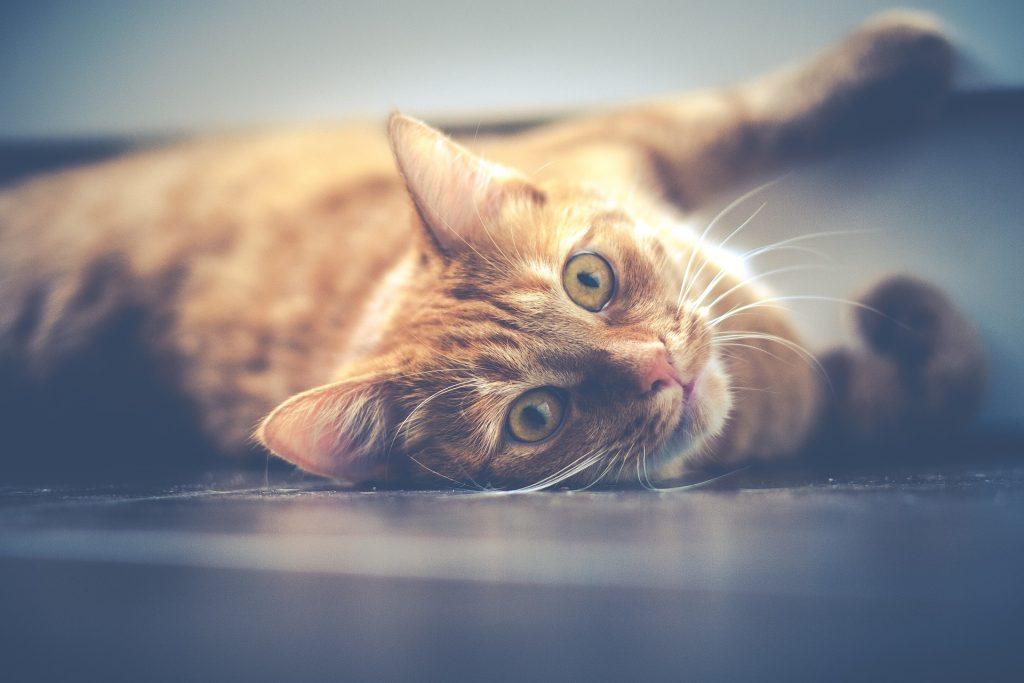 como-eliminar-el-olor-a-orina-de-gato-en casa