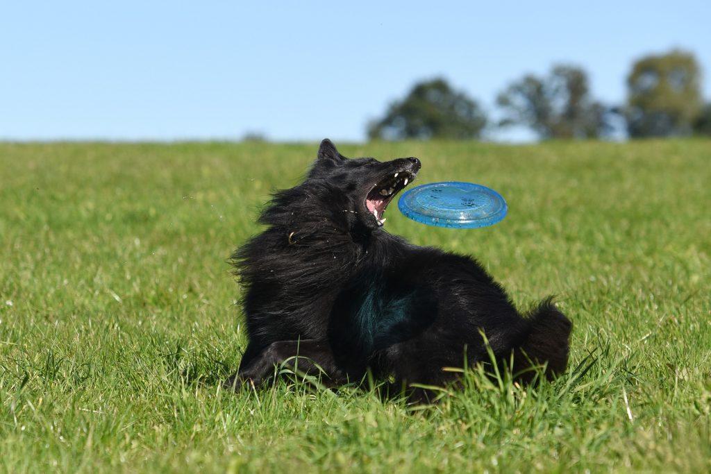 dog frisbee o disc dog como deporte