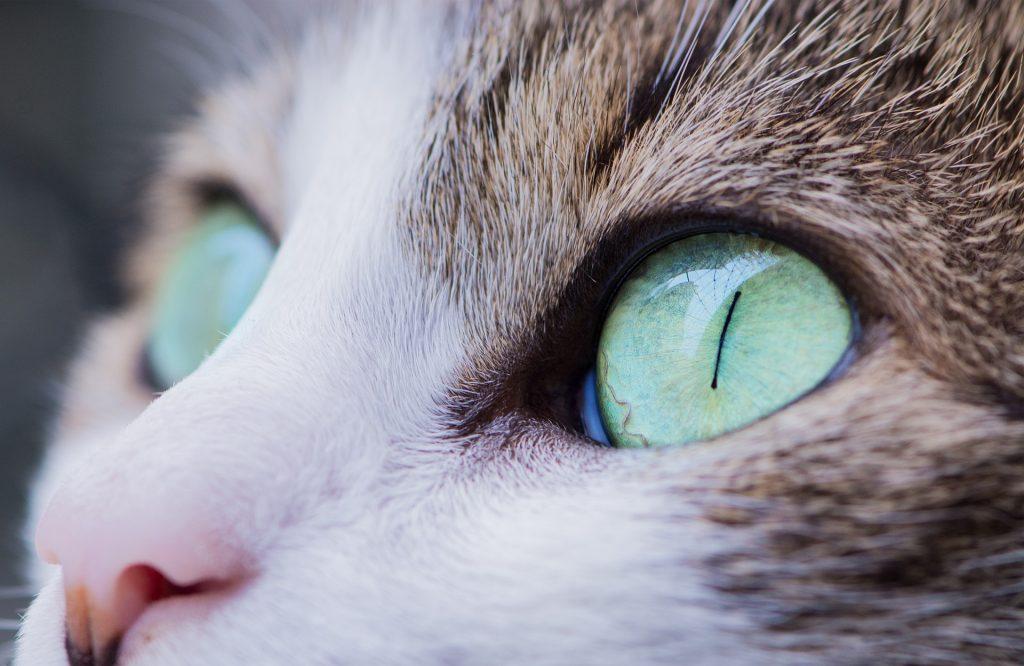 por que a mi gato le llora un ojo