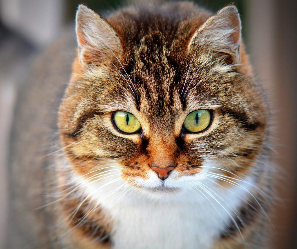 causas del acné felino