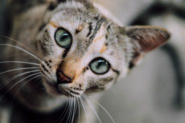 el acné felino