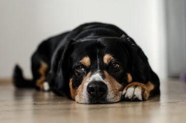 la alergia canina o alergia en perros