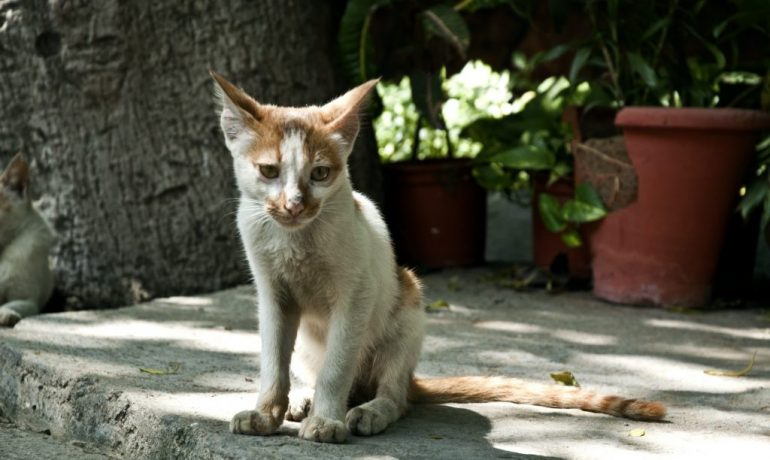 anorexia en gatos