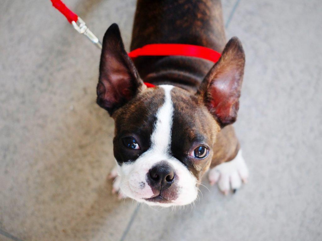 bostón terrier raza de perro propensa a sufrir un golpe de calor