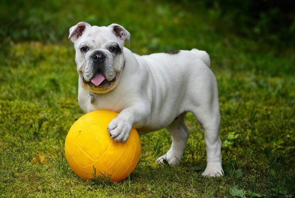 bull dog raza propensa a sufrir un golpe de calor