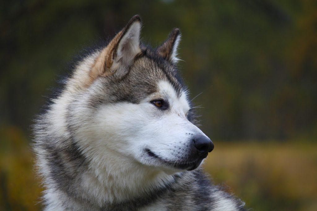 malamute raza de perro propensa a sufrir golpe de calor