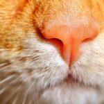 la nariz de los gatos