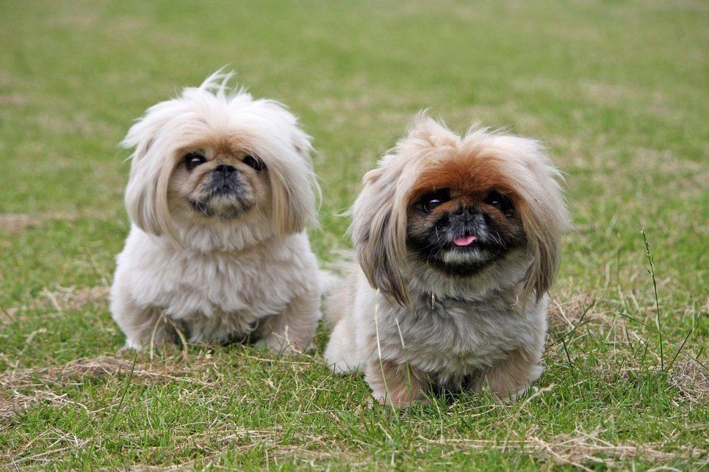 pekinés raza de perro propensa a sufrir un golpe de calor