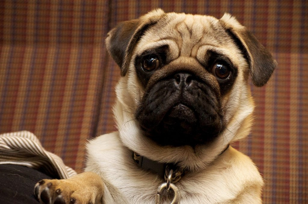 razas de perros propensas a sufrir golpe de calor