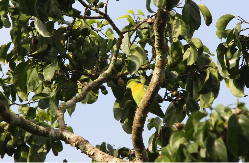 agapornis swidernianus