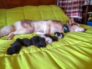 husky salva gatos