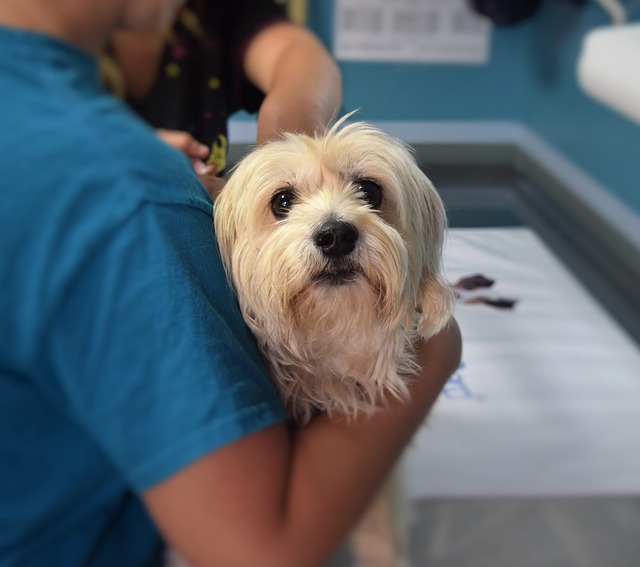 diagnostico leucemia canina o leucemia en perros