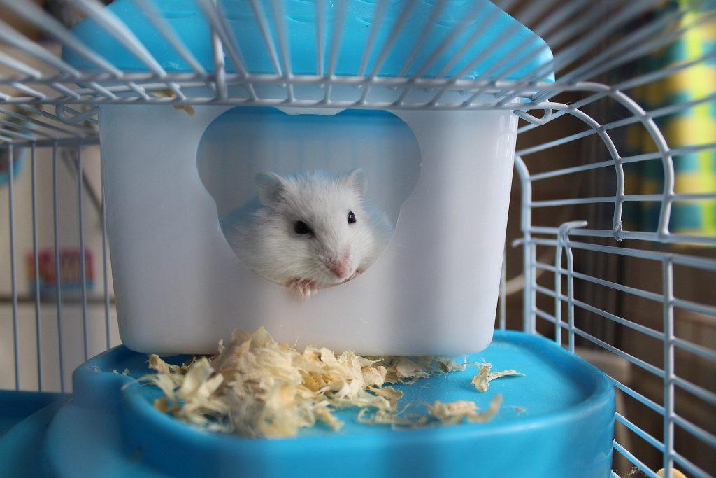 hamster mascotas en el hogar