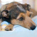 hipotiroidismo-canino