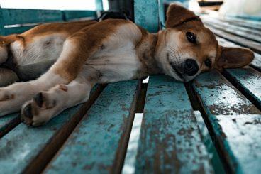 leucemia en perros