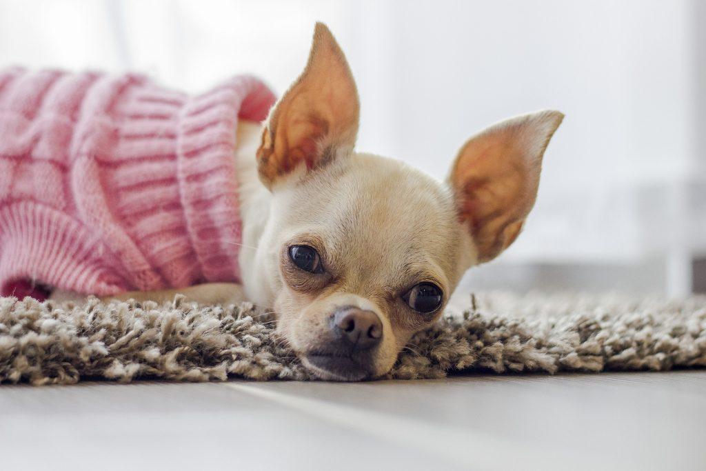 prevenir la otitis en mascotas