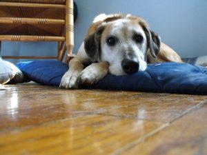 diarrea en perros mayores