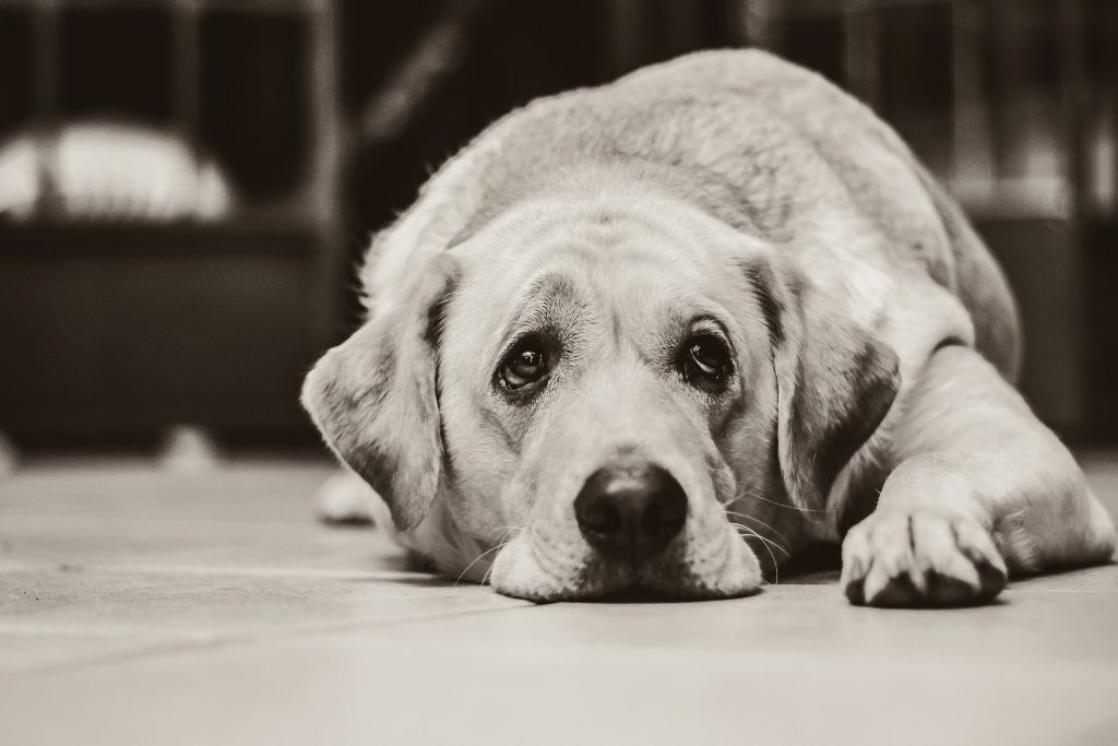 la diarrea en perros mayores como tratarla