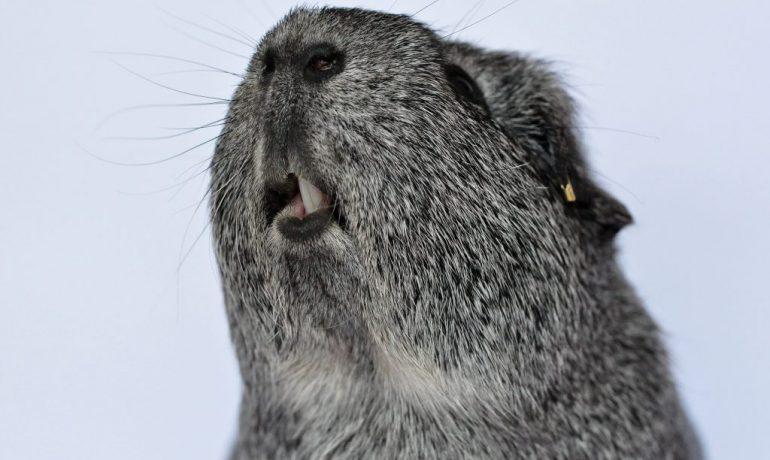 problemas dentales en conejos y cobayas más frecuentes