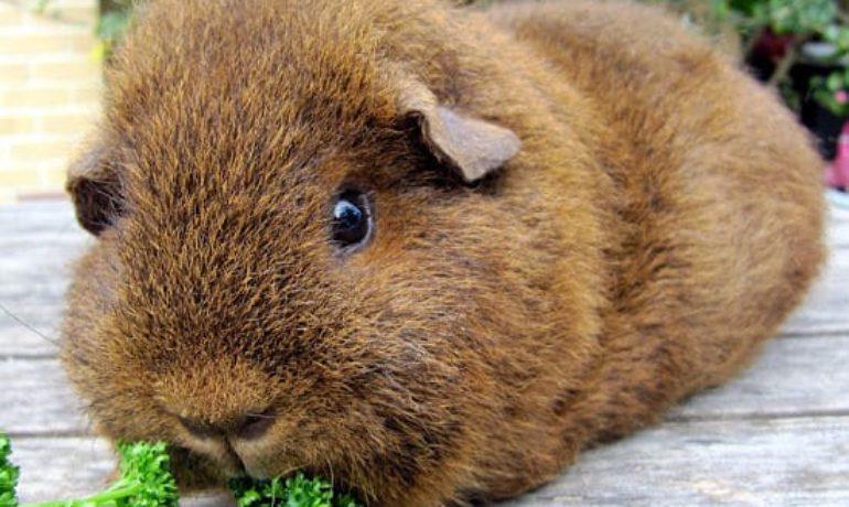 cobaya teddy via roedores org