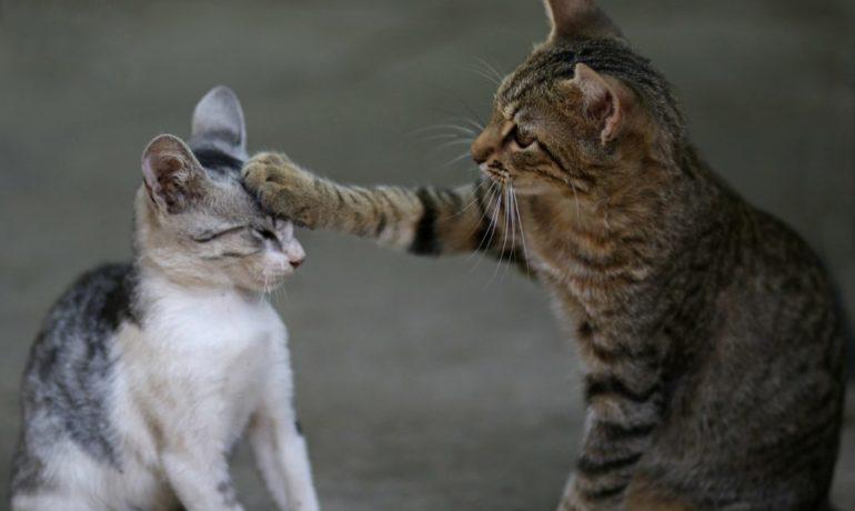 hacer que dos gatos se lleven bien