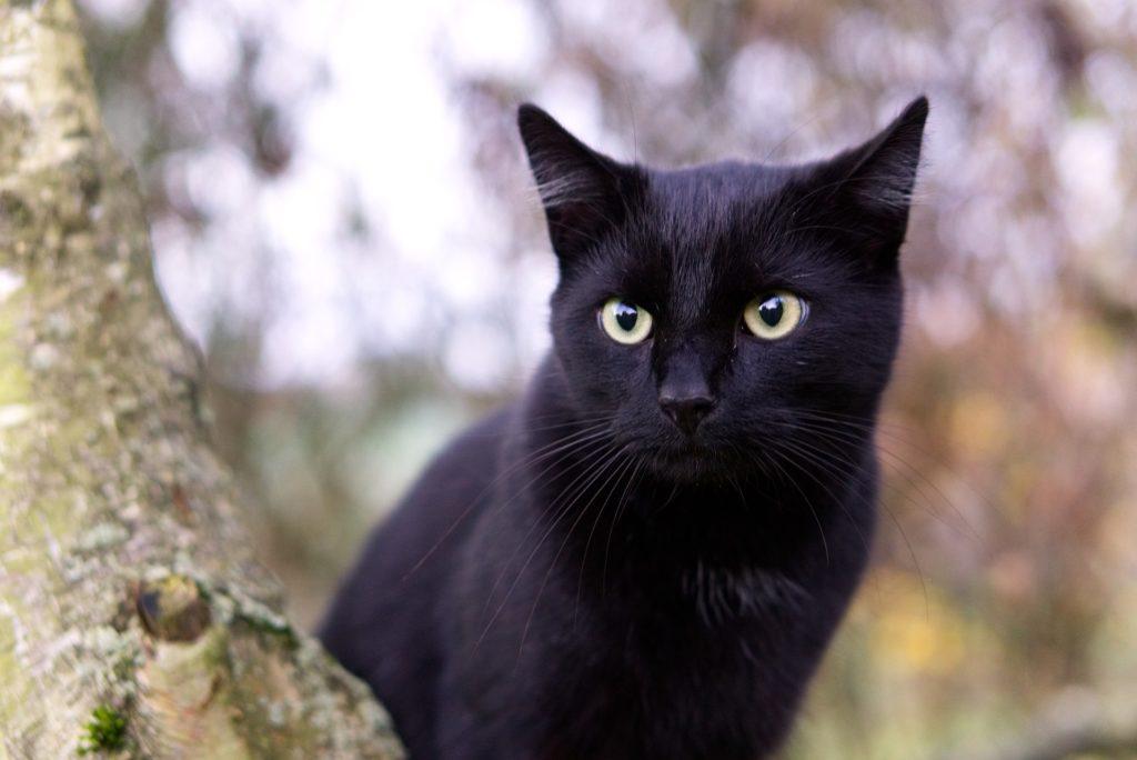gatos negros y brujas
