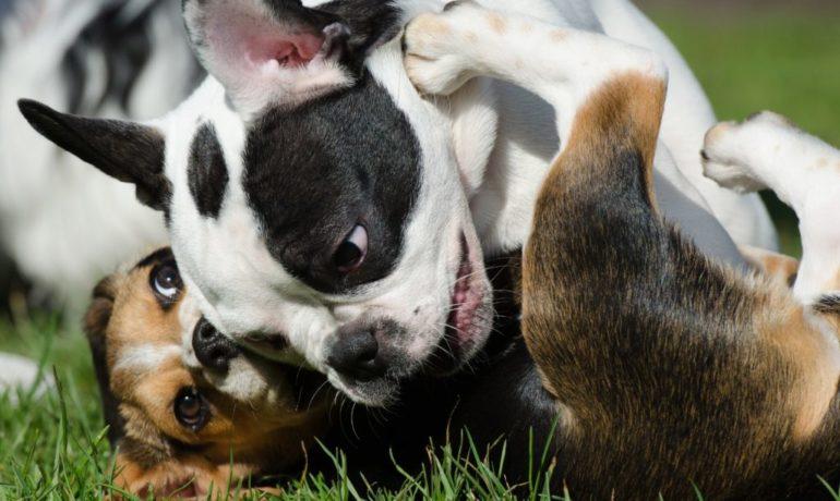 por que los perros gruñen cuando juegan