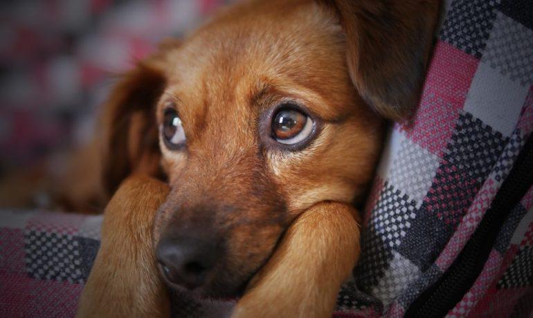 los perros sienten culpa si o no
