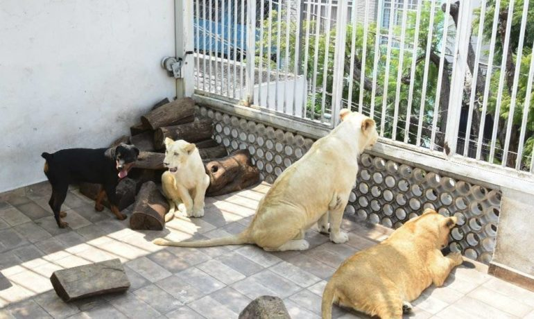 tres leones africanos como mascotas