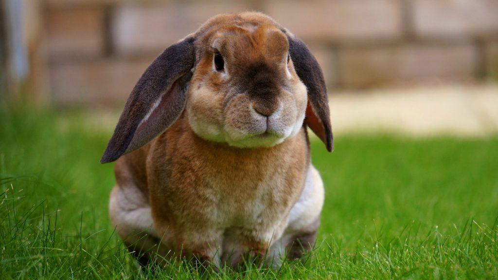 las curiosidades sobre los conejos