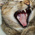 usos de la lengua del gato