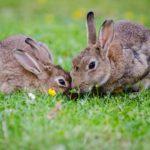 curiosidades sobre los conejos