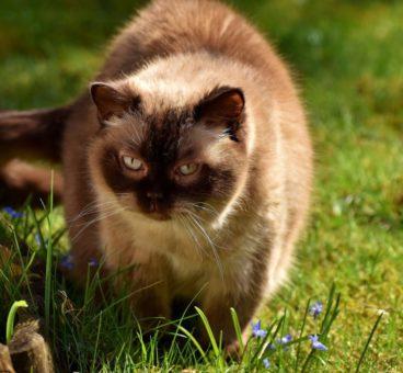 las mejores razas de gatos para tener en casa