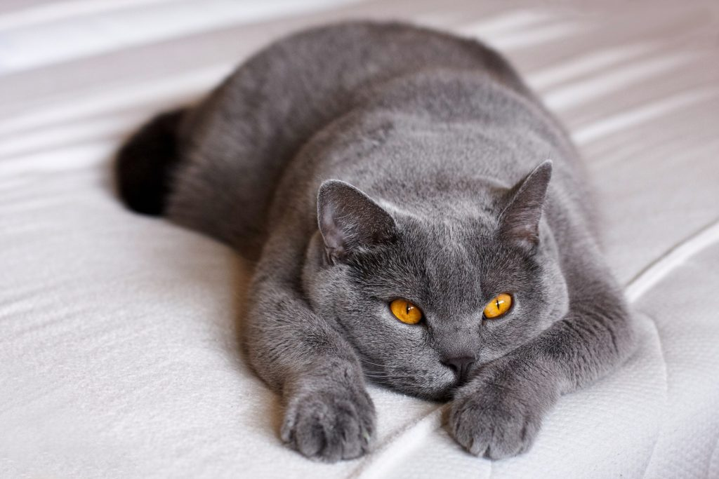 gatos para tener en casa gato british shorthair