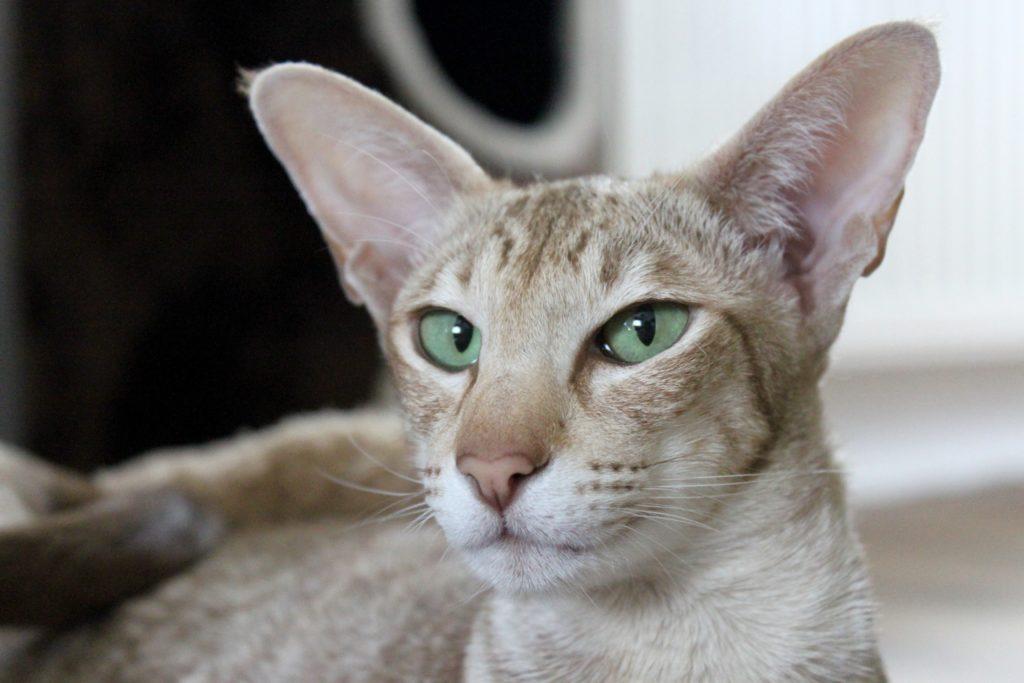 gatos para tener en casa javanes