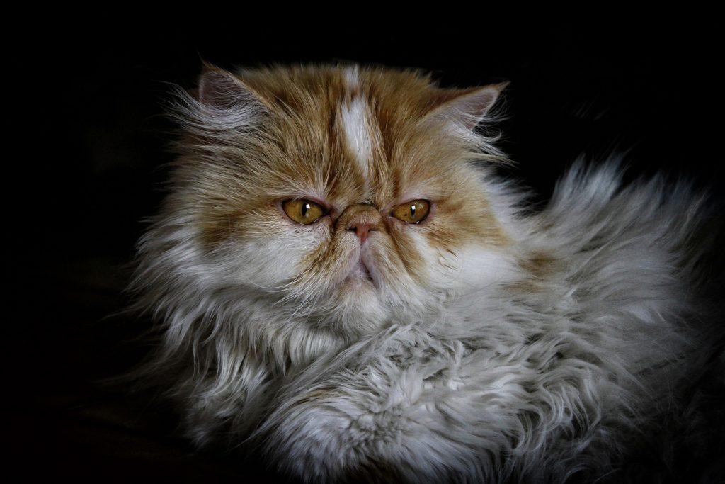 gatos para tener en casa gato persa