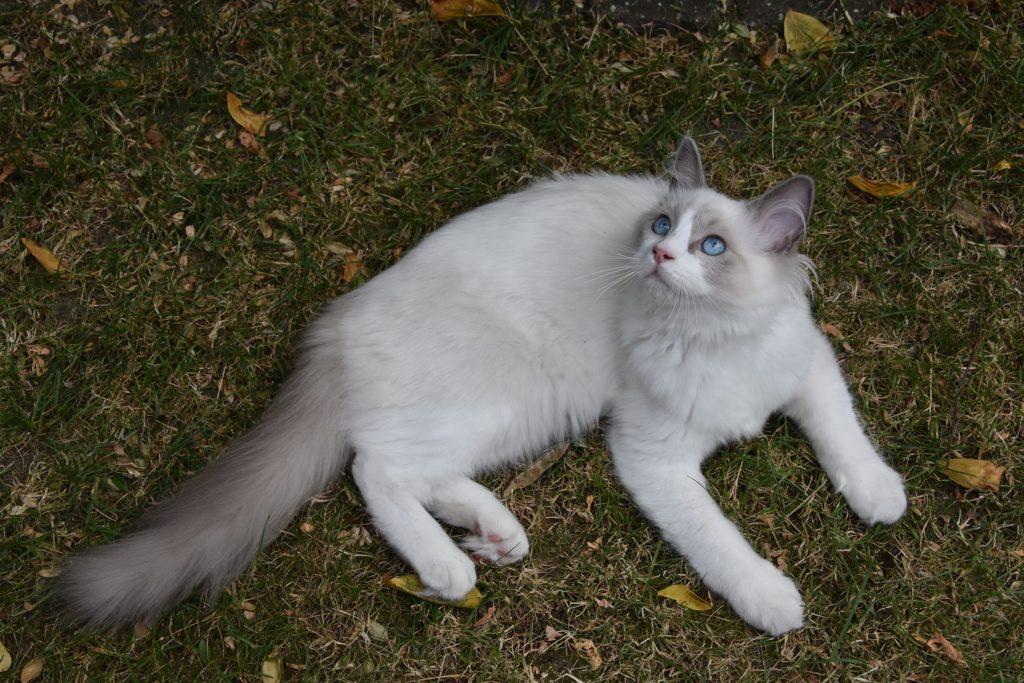 gatos para tener en casa gato ragdoll