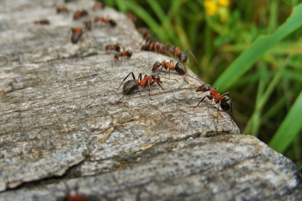 hormigas como mascotas en casa
